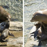 Cute alert: SeaWorld announces birth of two sea lions pups