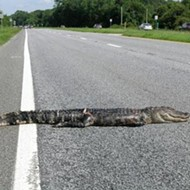 A Florida bicyclist was hospitalized after crashing into a dead alligator