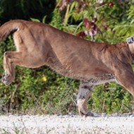 Florida drivers have killed roughly 10 percent of panther population this year