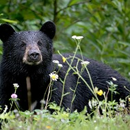 Conservation group files emergency motion to block Florida's bear hunt