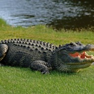 A Brevard County burglary suspect was eaten by a gator while running from deputies