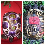 Some local idiots painted federally protected gopher tortoises