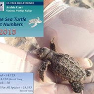 A record number of green sea turtles nested along Florida beaches in 2015