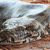 A Burmese python bigger than two Shaqs was captured near Miami