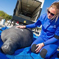 SeaWorld returns four rehabilitated manatees to warm waters