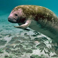 Wildlife officials holding public meeting on manatee reclassification this weekend