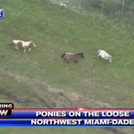 A herd of escaped miniature ponies led officers on a wild chase along the Florida Turnpike Wednesday morning