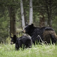 Scientists petition to classify Florida black bears as endangered species