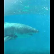 Tourists capture rare footage of great white shark off Florida Keys