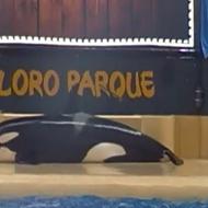 Disturbing video shows killer whale beaching itself at theme park
