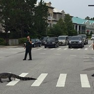 Law abiding alligator uses crosswalk in Flagler County