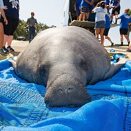 Mother manatee and calf released back to the wild after being struck by motorboat