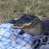A South Florida man is fighting to keep his junk food-loving pet gator