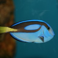 Florida researchers successfully breed 'Finding Dory' fish in captivity