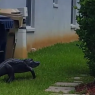 Carefree alligator strolls through Florida man's yard