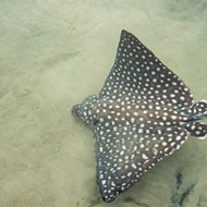 Look at these cute spotted eagle ray pups that were born at Discovery Cove