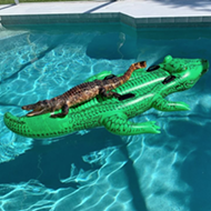 This alligator was caught working on a summer tan in a South Florida pool