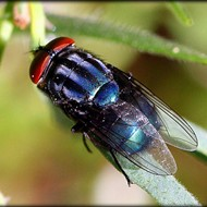 Florida officials release swarms of sterile flies to fight off flesh-eating maggots