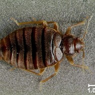 Tropical bed bugs are back in Florida after disappearing for 60 years
