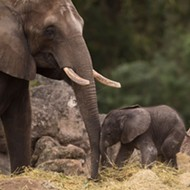 Baby elephant 'Stella' born at Disney's Animal Kingdom