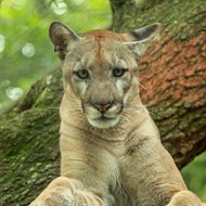 Florida's first reported panther death of 2020: Cat was killed by car
