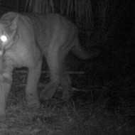 Another female Florida panther has crossed the Caloosahatchee River, a huge milestone