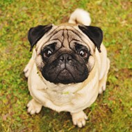 Celebrate Valentine's Day early with pugs and sushi at 'For the Love of Dogs'