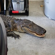 Florida resident discovers 7-foot alligator in garage