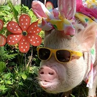 A Florida pig named 'Duck' is trying to become the next Cadbury Bunny
