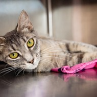 A stray kitty who likes playing with toys is waiting for you at the Orange County animal shelter
