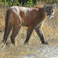 Florida panther population has increased, FWC reports