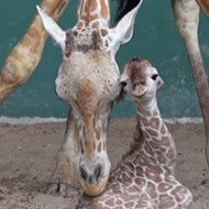 Busch Gardens Tampa Bay just welcomed a new baby giraffe