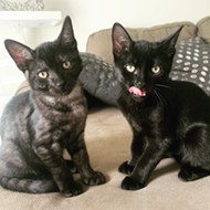Meet Lambo and Bugatti, a pair of silky micro-panthers who are ready to be adopted from Orange County Animal Services today