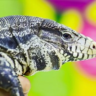 Florida reptile breeders are suing the state to stop ban on tegu lizards, green iguanas and reticulated pythons