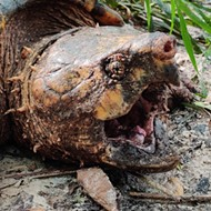 Florida researchers discover 100-pound alligator snapping turtle near Gainesville