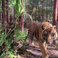 Tiger bites staff member at Tampa's Big Cat Rescue