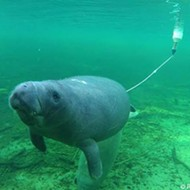 Resourceful Florida manatee frees self after lengthy bicycle tire entanglement