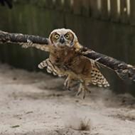 Maitland Audubon Center's 2020 rehabilitation numbers soar as 784 raptors are taken in for care