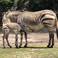 Disney's Animal Kingdom welcomes baby zebra while park guests watch