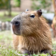 Gatorland's capybara siblings are getting a new home at park's Flamingo Island