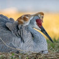 Winter Garden woman wins Audubon Photography Award for photo of Sandhill crane family