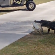 Watch this gator drag a big dead fish across a Florida golf course