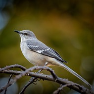 Central Florida senator seeks to replace Florida's state bird