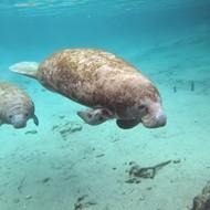 Florida Ag Commissioner asks that manatees return to 'endangered' status