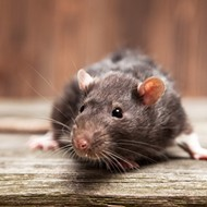 Rats off to Orlando: City is second most rodent-infested in Florida