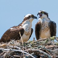 Swoop! FWC gets behind osprey for Florida's state bird
