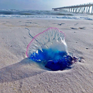 Strong weekend winds bring Portuguese man-of-wars to Florida beaches