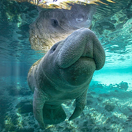 Florida manatees no longer an 'endangered' species
