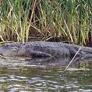 10-year-old girl in Orlando pries open gator's mouth to free her leg
