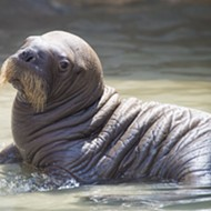 SeaWorld Orlando welcomes its first baby walrus born in captivity